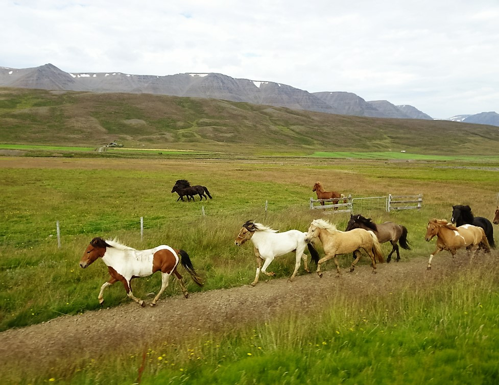 148 Chevaux islandais